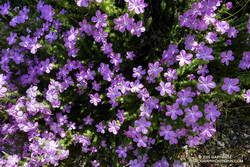 Prickly phlox along the Stone Canyon Trail