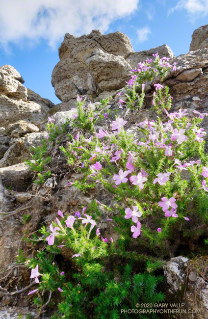 Prickly phlox near the summit of Castle Peak.