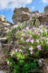 Prickly phlox blooming near the summit of Castle Peak.