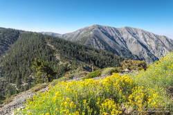 Rabbitbrush along the North Backbone Trail, between Pine Mountain and Dawson Peak