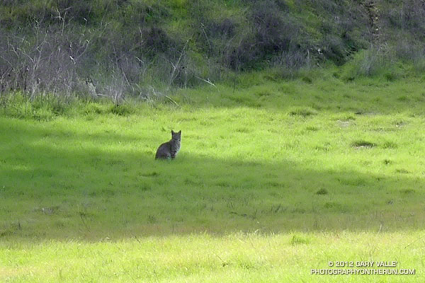 Bobcat at Reagan Ranch, Malibu Creek State Park