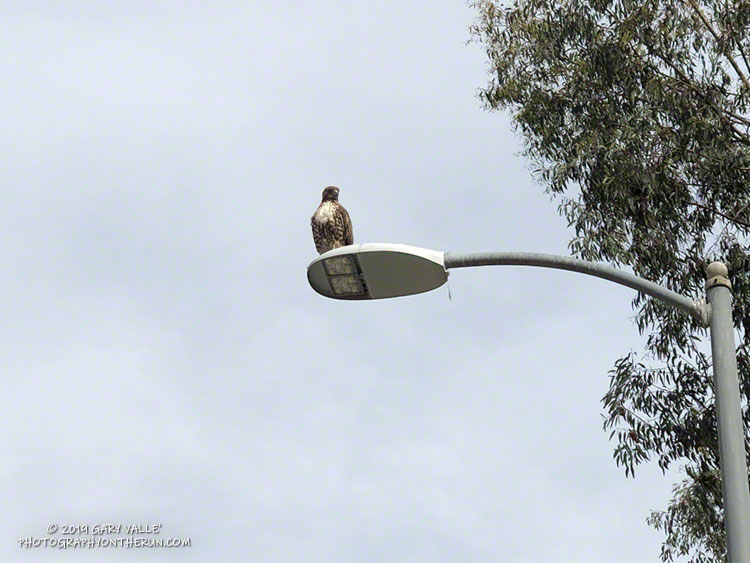 A red-tailed hawk near the entrance of Ahmanson Ranch. The hawk had killed a gopher snake, taken it up to the street light, and dropped it. The hawk had been perched on the light for about an hour when I took this photo. See the post for details.