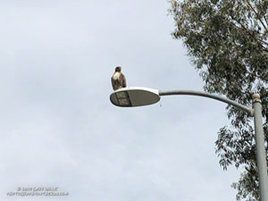 Red-tailed hawk waiting to retrieve a dropped gopher snake at Ahmanson Ranch.