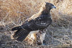 Red-tailed hawk with a just-killed field mouse or other small rodent