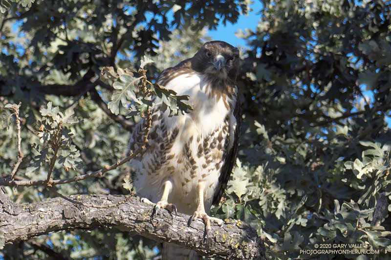 Partially camouflaged red-tailed hawk in a valley oak