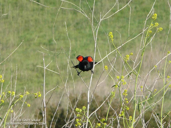 A red-winged blackbird (Agelaius phoeniceus) shows his bright red shoulder epaulets in a territorial display called the song-spread.