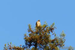 Red-tailed hawk atop a coast redwood in Malibu Creek State Park.