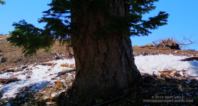 Fallen rime around a white fir