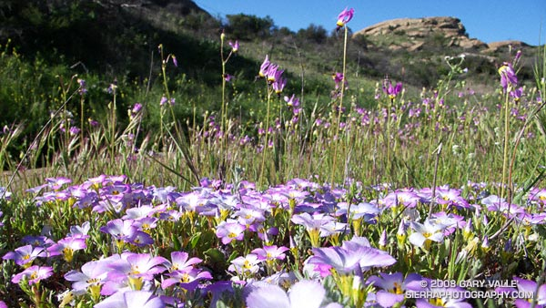 Padres' shooting star (Dodecatheon clevelandii ssp. patulum) and ground pink (Linanthus dianthiflorus) at Sage Ranch Park