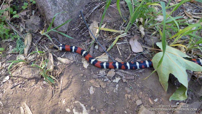 California mountain kingsnake along the Garapito Trail in the Santa Monica Mountains