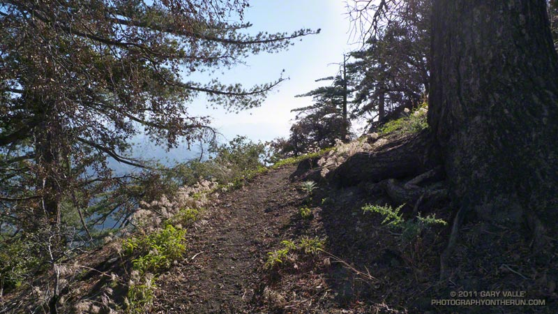 An area of surviving Bigcone Douglas-fir on the San Gabriel Peak Trail just below the summit of the peak. September 11, 2011.