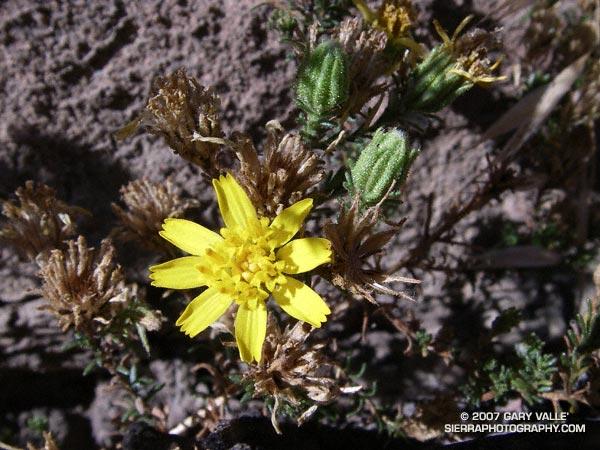 Santa Susana tarweed (Deinandra minthornii)