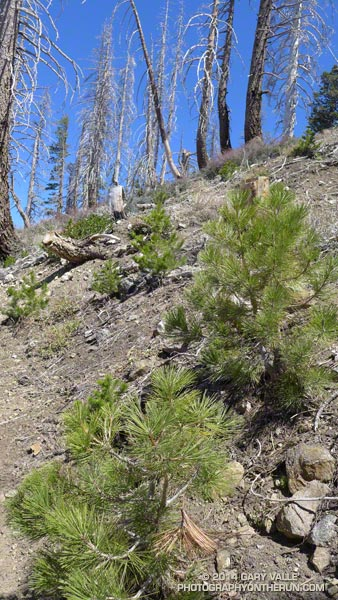 These young Jeffrey pines are growing in the 2002 Curve Fire burn area along the PCT. This photo is from a run in April 2013. Many of the young trees in the burn area have now reached the sapling stage.
