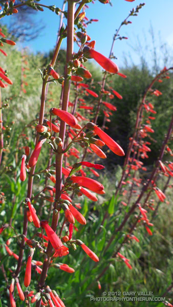 Scarlet bugler (Penstemon centranthifolius) along the Gabrielino Trail near Red Box