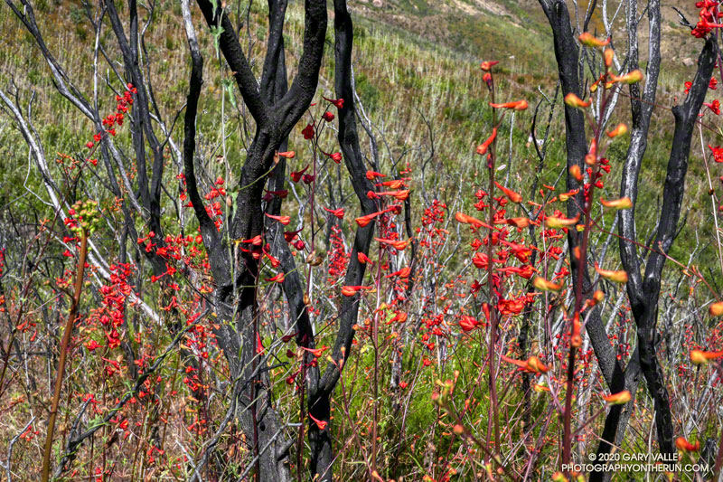 Scarlet larkspar (Delphinium cardinale) mixed in with burned limbs of chaparral -- probably red shanks (Adenostoma sparsifolium). June 7, 2020.