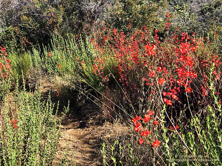 Scarlet larkspur (Delphinium cardinale) along the Garapito Trail in the Santa Monica Mountains. June 29, 2019.