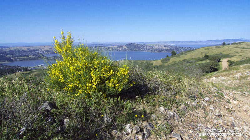Scotch broom on the Miwok Trail near FAA hill. Mt. Diablo can be seen on the horizon on the right margin of the photo.