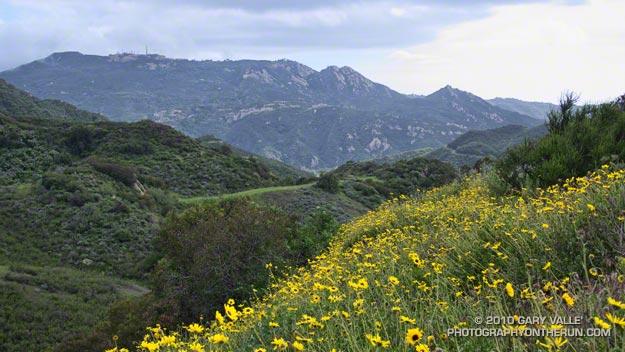 Bush sunflowers along the Secret Trail