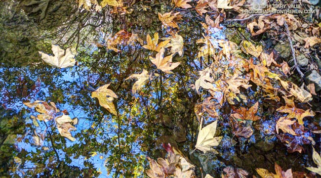 Sycamore leaves in Serrano Canyon.