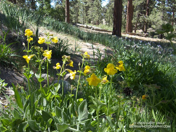 Yellow monkeyflower and western blue flag (iris) at Sheep Camp.