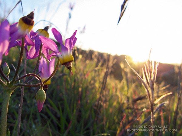 Shooting stars (prob. Dodecatheon clevelandii ssp. patulum)