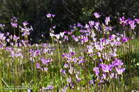 Padre's shooting star (Primula clevelandii) along the Backbone Trail below the Mishe Mokwa Trailhead.