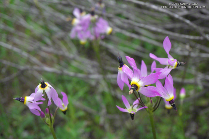 Padre's shooting star (Primula clevelandii, formerly Dodecatheon clevelandii) along the Old Boney Trail in Pt. Mugu State Park. March 19, 2016.