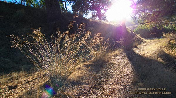 Introduced into California over a century ago, smilo is a drought resistant grass that has been used for pasture, and for erosion control following fires.