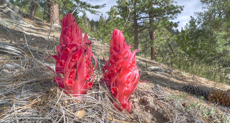 Snow plant along the Pacific Crest Trail, near Winston Ridge, in the San Gabriel Mountains. May 29, 2011.