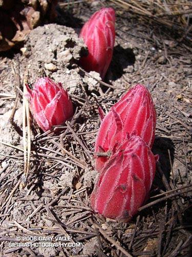 Snow Plant pushing up through detritus on the forest floor.
