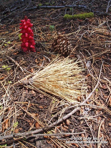 A snow plant and other forest floor elements highlighted by a shaft of sunlight.