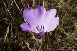Splendid mariposa lily in Malibu Creek State Park