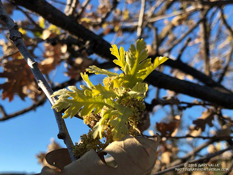 Sprouting leaves on a valley oak in the northeastern part of the Woolsey Fire area. January 2, 2019.