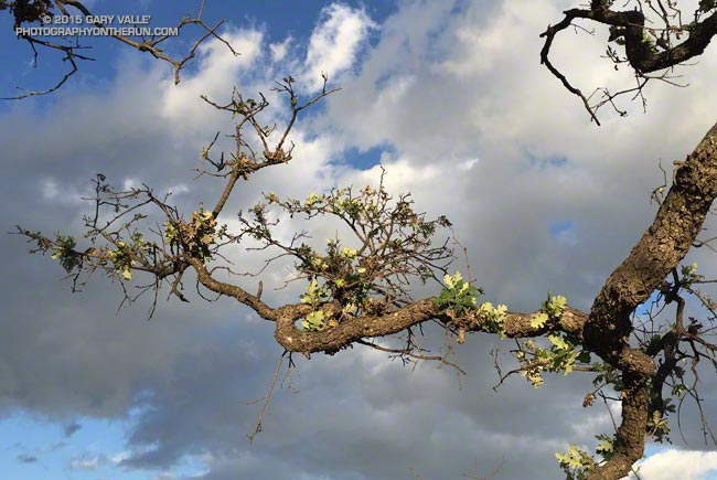 Drought-stressed valley oak sprouting leaves following summer rains in Southern California