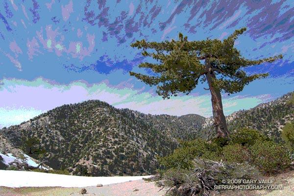 Sugar pine on Kratka Ridge, in the San Gabriel Mountains, near Los Angeles