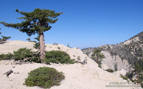 Stunted sugar pine on Kratka Ridge in the San Gabriel MOuntains, near Los Angeles.