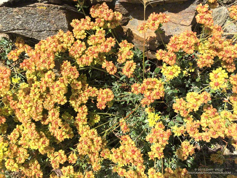 Sulphur flower (Eriogonum umbellatum) along Lightning Ridge on the Pacific Crest Trail near Inspiration Point in the San Gabriel Mountains. July 31, 2015.