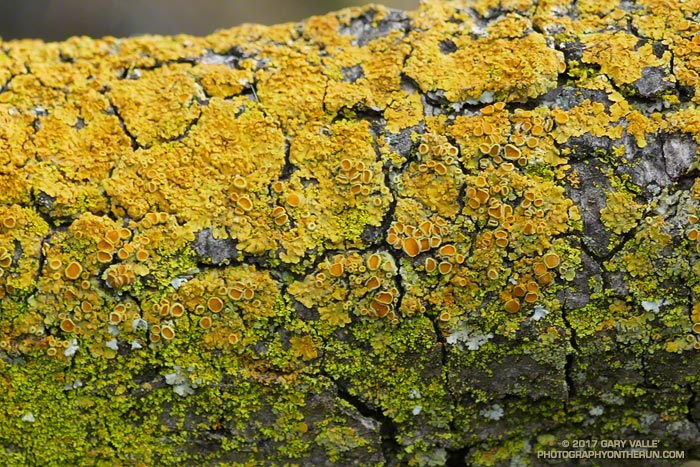 Sunburst lichen on a valley oak. Might be Xanthoria tenax.