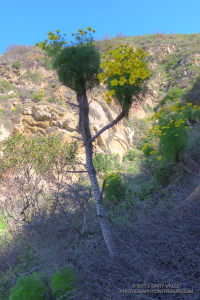 If a sunflower could be crossed with a Joshua tree the result might look like Giant Coreopsis (Leptosyne gigantea). This one is at least 6 ft tall. La Jolla Canyon Trail, March 9, 2013.
