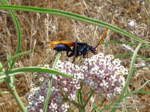 A tarantula hawk wasp feeds on the flowers of a narrow-leaf milkweed