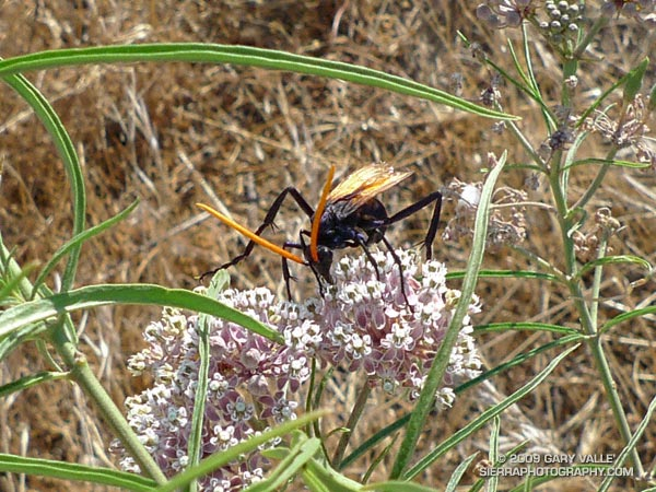 A tarantula hawk wasp feeding on narrow-leaf milkweed at Sage Ranch.