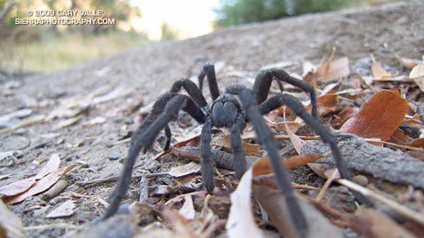 Tarantula (Aphonopelma spp.) near upper Las Virgenes Creek