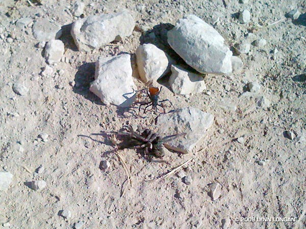 This female tarantula hawk wasp has just attacked and paralyzed the tarantula.