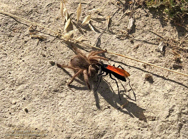 Tarantula hawk with a paralyzed tarantula.