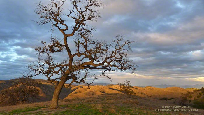 Drought-stressed Valley Oak at Ahmanson Ranch - The Tree