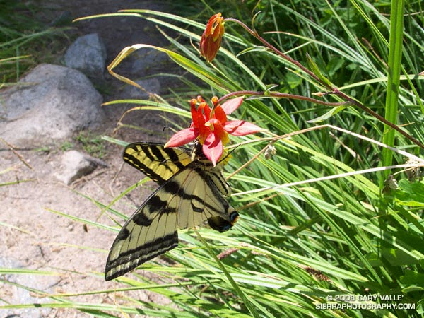 A western tiger swallowtail butterfly on western columbine near Halfway Camp on the Vivian Creek trail on Mt. San Gorgonio.