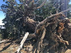 Jeffrey pine near Mt. Burnham, toppled by Winter winds.