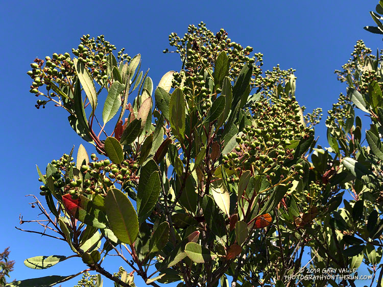 Sometimes referred to as Christmas berry, these toyon berries will be turning red over the next few weeks. August 20, 2019.