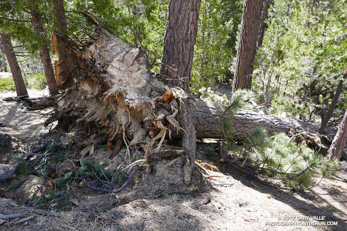 An outwardly healthy Jeffrey pine whose supporting root system appears to have failed.