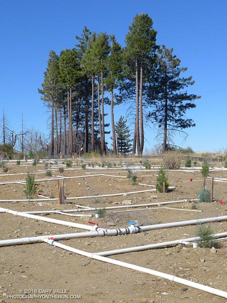 Pines and pine seedlings at Barley Flats